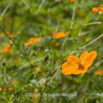 Flor comestible en Siembra Tres Vidas, Aibonito, PR